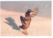laysan-duck-web-copy